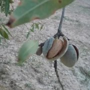 almendras comuna árbol