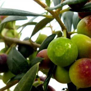 La oliva arbequina y sus aceites frescos