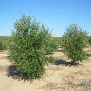 olivar arbequino
