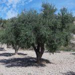 olivo arbequino