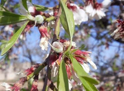 Almendras tras la floración