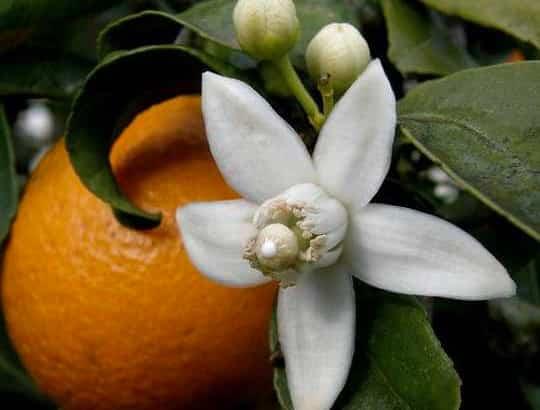 miel de flor de azahar